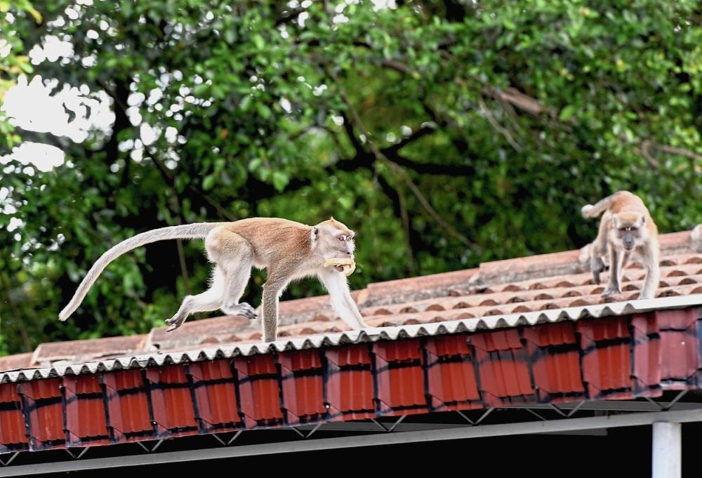 wildlife malaysia covid19 lockdown pandemic