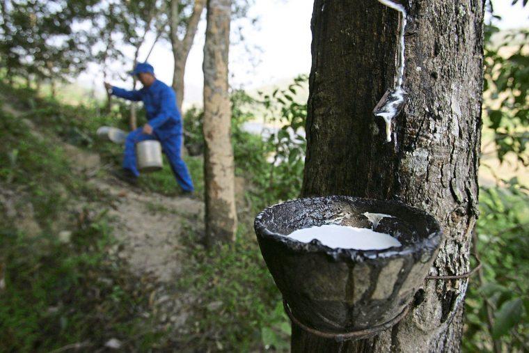 Malaysian rubber plantation